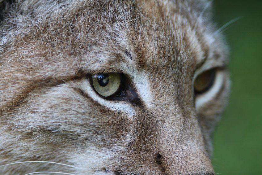 Ryś – największy dziki kot Europy