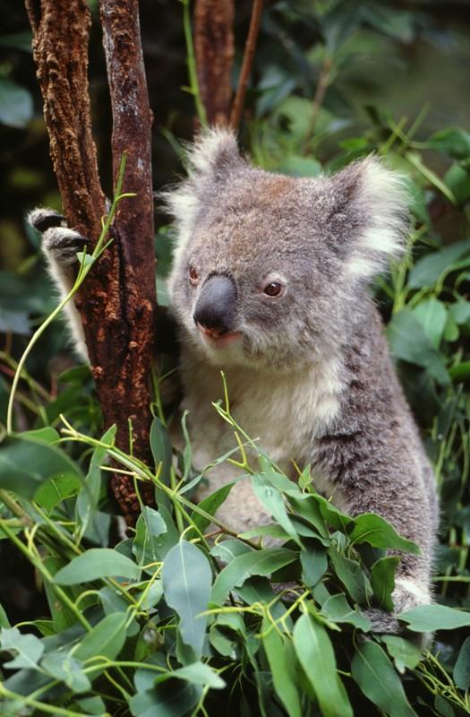 Fostertravel / Miś koala