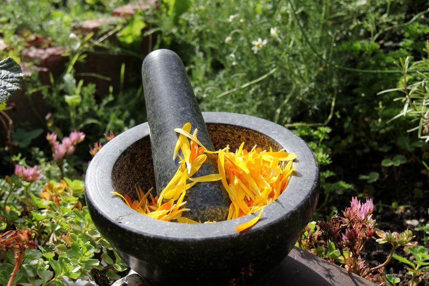 Minta zbiera zioła