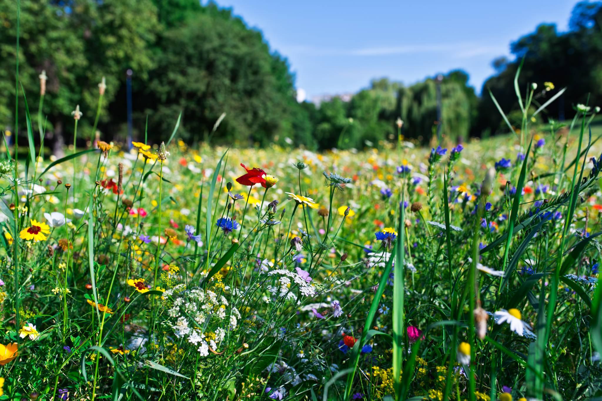 Łąki w miastach - kwiaty zamiast betonu