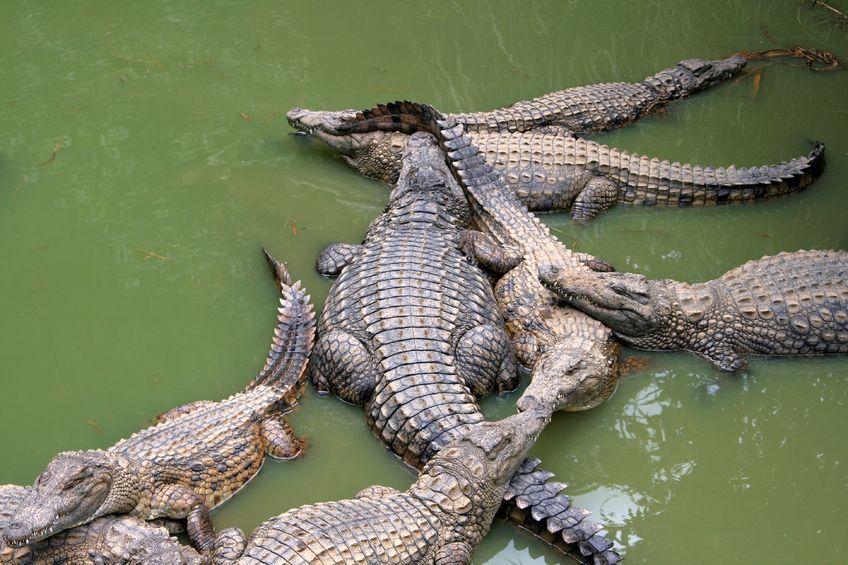 Krokodyle uwolnione przez powódź w Tajlandii