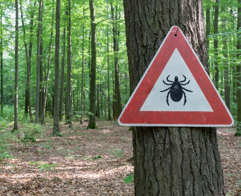 Kleszcz kiedy się wpije, zakaża dopiero po drugim ssaniu. Jeśli pajęczak jest płaski, nieopity, znaczy, że był w skórze krótko, raczej nie mógł nas zakazić. (Fot. iStock)