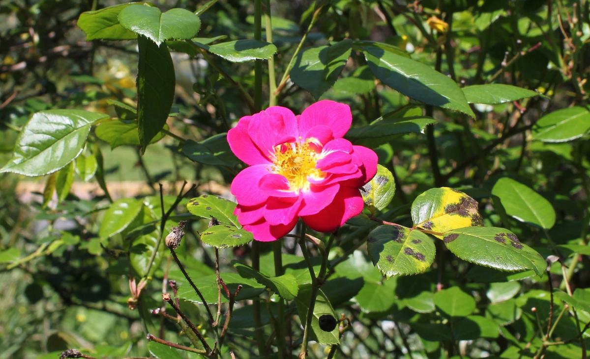Choroby róż i sposoby ich zwalczania - o czym warto pamiętać?