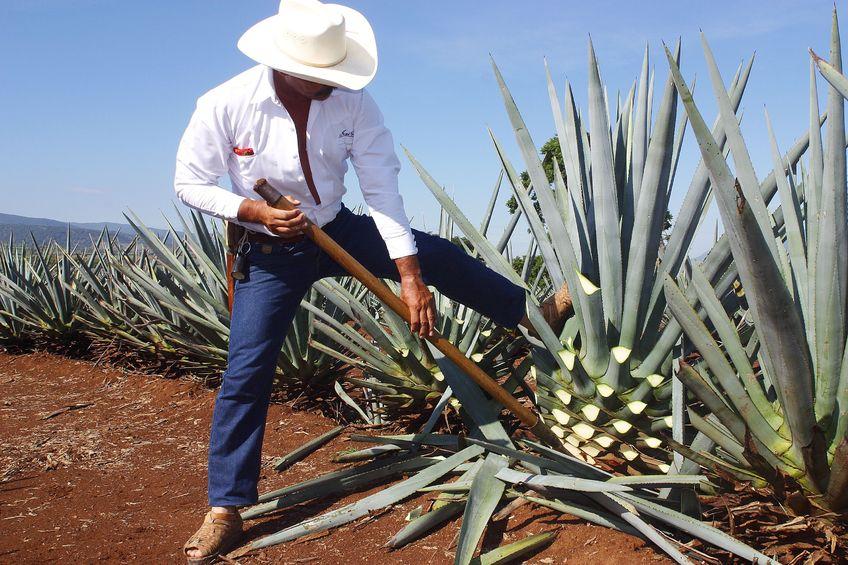 Podróż do Meksyku. Region Jalisco