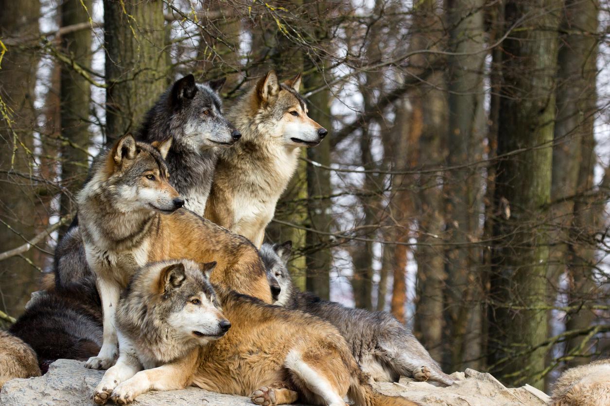 Wilków nie trzeba się bać: fakty i mity o wilkach