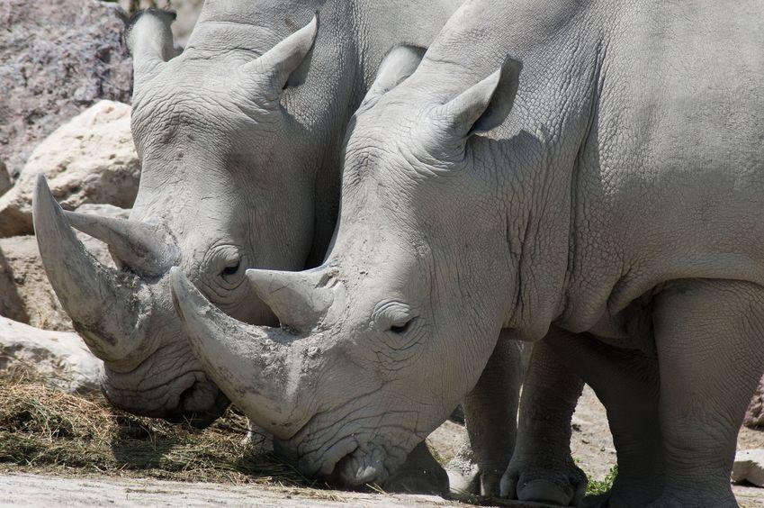 Nosorożce zagrożone