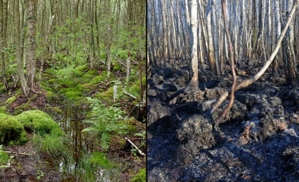 Biebrzański Park Narodowy po pożarze - czy przyroda się odrodzi?