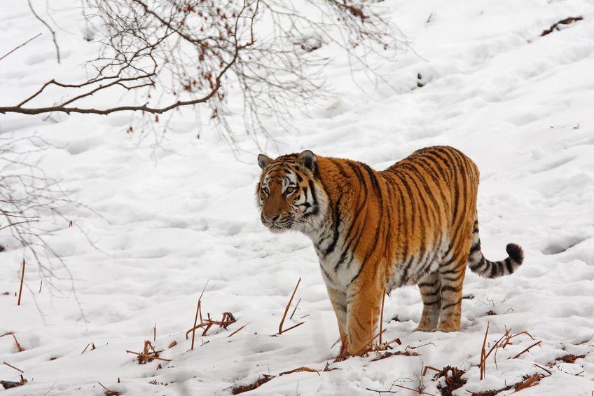 Więzienie za maść tygrysią