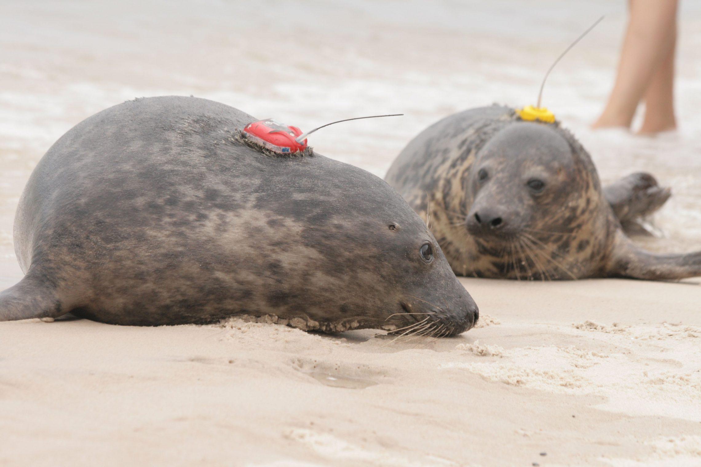 Cztery nowe foki w Bałtyku