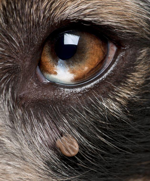 Kleszcze u psów - skuteczne metody ochrony