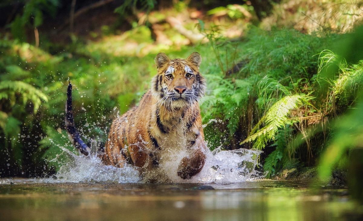 Tydzień tygrysa - za co kochamy te zwierzęta?