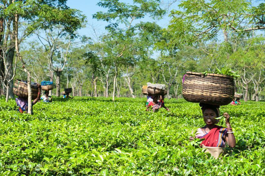 Jak powstaje herbata Assam?