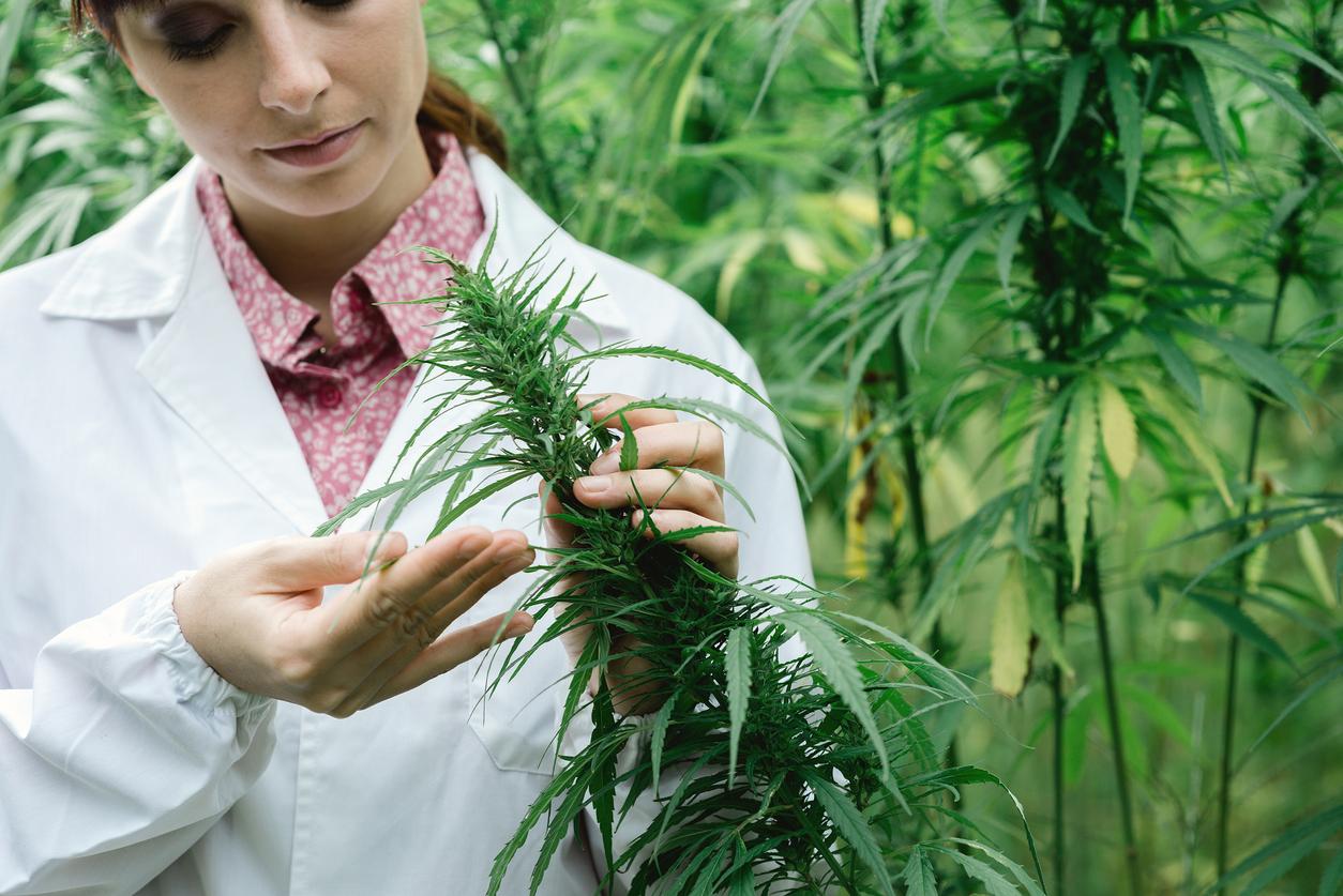 Marihuana lecznicza: czy i kiedy pomaga?