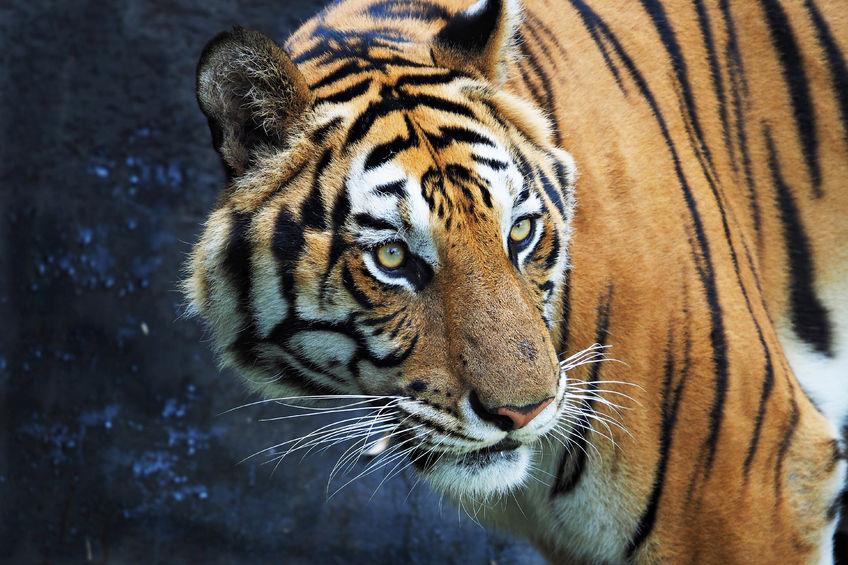 Zagrożone gatunki.Twój kot pomoże tygrysom