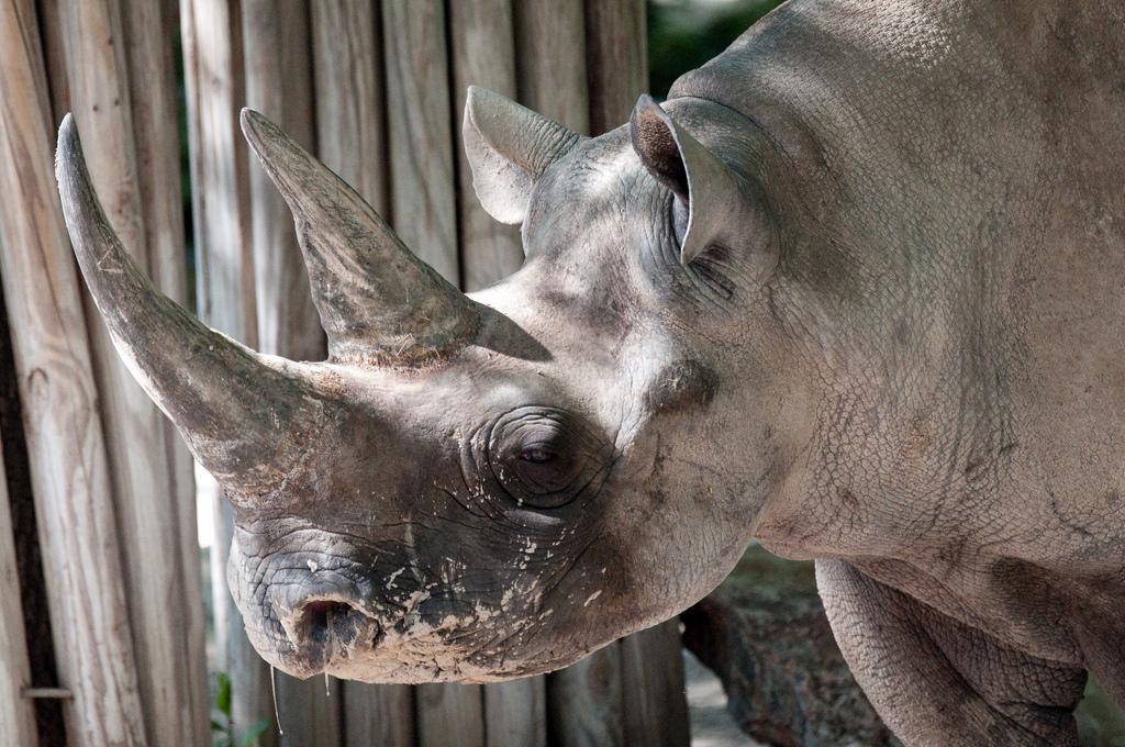 Sztuczne rogi nosorożca w 3 D