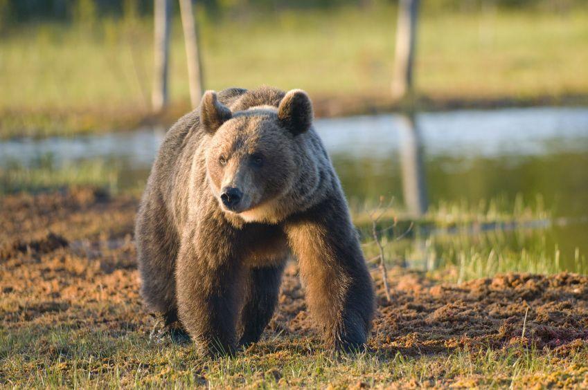Niedźwiedzie brunatne na ulicach Sapporo
